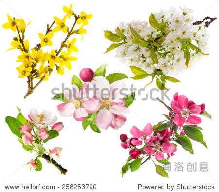 盛开的苹果树,樱桃树枝
