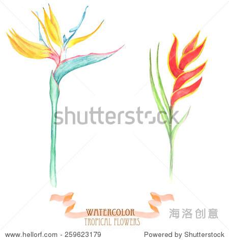 手绘水彩多彩的鹤望兰花——充满活力的热带植物在在