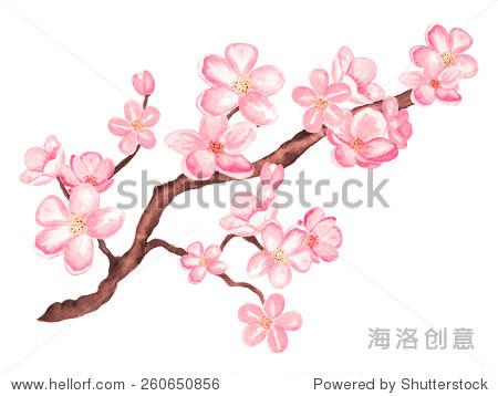 水彩分支樱花开花,樱桃树与花孤立在白色背景.手画在纸上