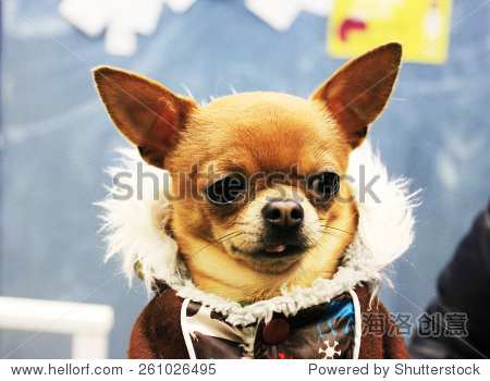 美丽的小狗穿着冬天的衣服