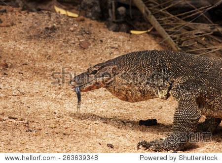 刁曼岛,夏天.巨大的巨蜥检查环境的舌头
