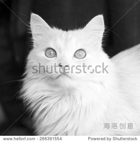 土耳其安哥拉猫,黑色和白色,单色-动物/野生生物-站酷
