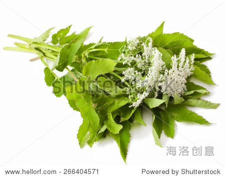 wild angelica flower on white background
