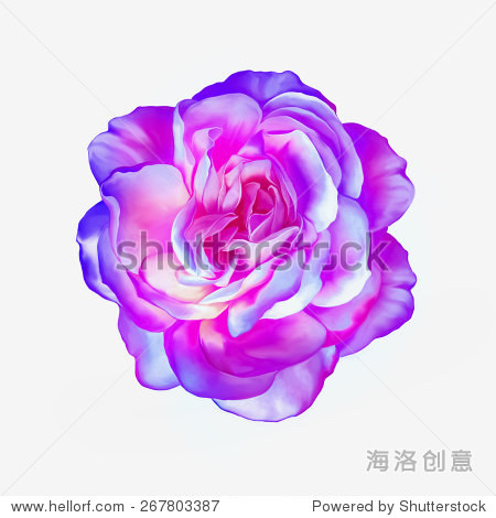 粉红色紫色玫瑰花孤立在白色背景