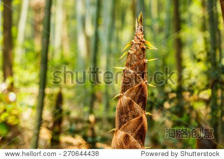 竹笋的生长在森林中