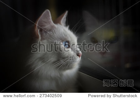 土耳其安哥拉猫从窗户向外看 - 动物/野生生物 - 站酷