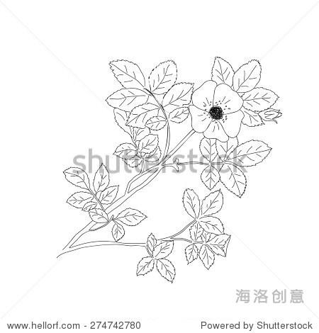 甜蜜的荆棘或罗莎rubiginosa野蔷薇的一种玫瑰.矢量图