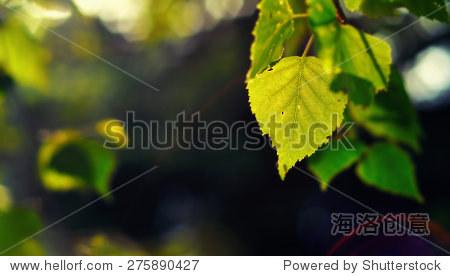 桦树的叶子在春天