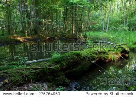 夏天风景旧森林和破碎的苔藓缠绕树躺在水里