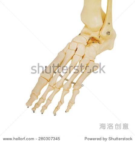 人脚的模型,所有的脚趾骨骼和脚踝 医疗保健,物体 站酷海洛创意