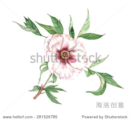 hand drawn watercolor illustration with white peony tree flower图片