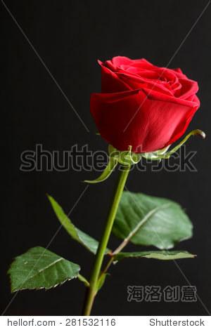 红玫瑰玫瑰花蕾用一些树叶在黑色背景下
