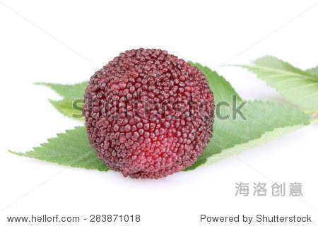 蜡浆果或月桂树的果实和叶子孤立在白色的