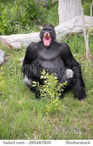 大猩猩咧嘴笑的表情晓星尘魔道表情祖师包图片