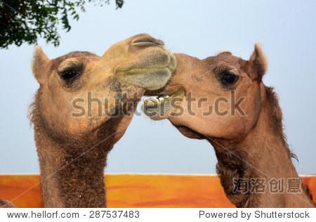 有趣的动物.我说,你听.说话的动物.骆驼鼻子