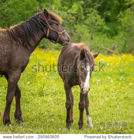 马和马驹在绿色和黄色的牧场 母亲养育后代 动物 野生生物,其它 海洛创意正版图片,视频,音乐素材交易平台 Shutterstock中国独家合作伙伴 站酷旗下品牌