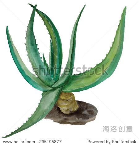 水彩向量绿色芦荟.手工制作的.水彩药用植物.