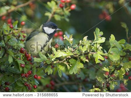 大山雀(大山雀)坐落在一个山楂树篱