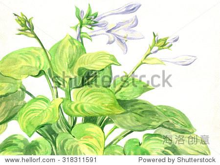 花园有花植物花玉簪属草本植物.水彩画