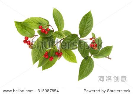 灌木果实和树叶孤立的白色