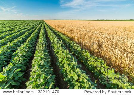 green soybean field alongside of ripe wheat