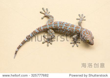 壁虎蜥蜴爬墙的背景. - 动物/野生生物 - 站酷海洛,,.