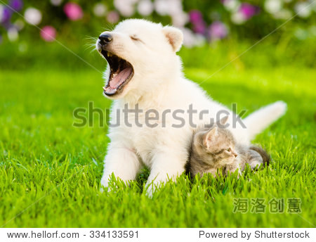 yawning white swiss shepherd`s puppy and kitten sitting together