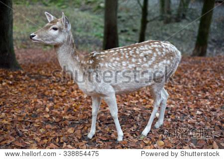 在秋天鹿在森林里 - 动物/野生生物,自然 - 站酷海洛