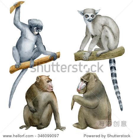 猴子的集合.水彩插图