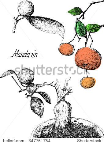 手绘彩色素描普通话(橘子)树刻字向量