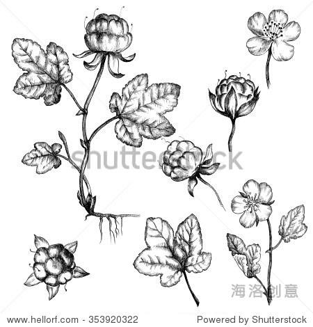云莓.手绘插图.野生浆果.