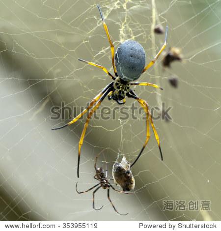新妇的圆网蛛(plumipes络动物)-生物/野生金色人笑视频图片