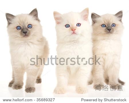 3可爱的布偶猫小猫在白色背景上