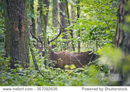 野生鹿在森林里 - 动物/野生生物,自然 - 站酷海洛,,.