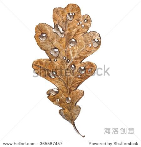 水彩插画的橡树叶子.秋天干燥的棕色树叶和水滴
