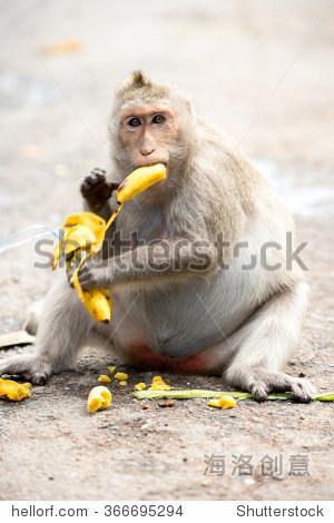 一个胖猴子吃香蕉