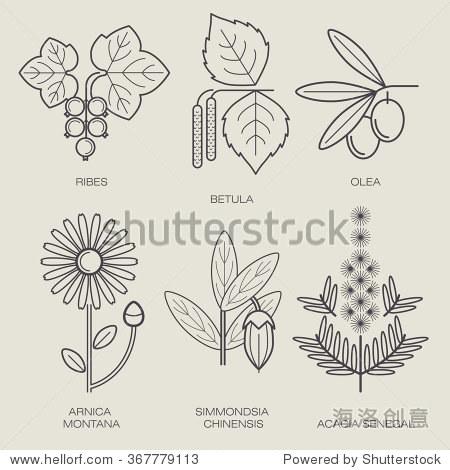 桦木,植物橄榄树