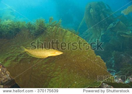 海洋生物是吃海带的图片