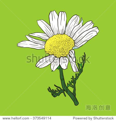 手绘洋甘菊花卉,素描矢量插图