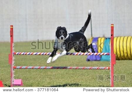 边境牧羊犬跳一跳狗敏捷性试验 - 动物/野生生物