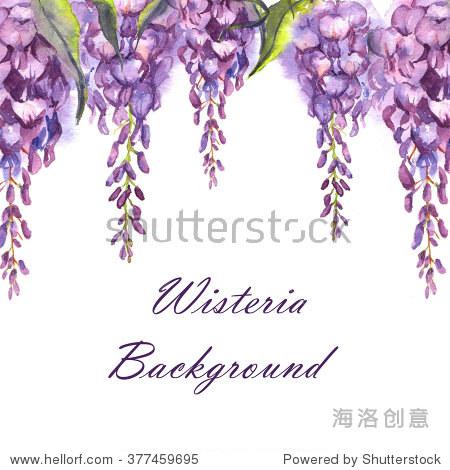 手绘水彩孤立紫紫藤花.温柔的亚洲花开花.春花孤立在白色背景上.
