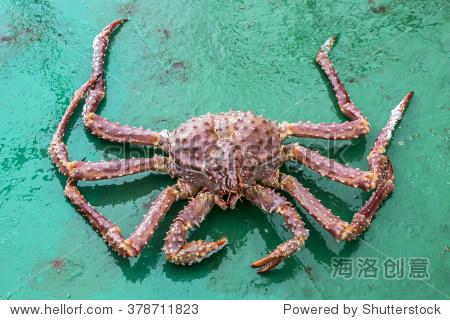 金色的帝王蟹(拉丁Lithodes aequispinus。)--的