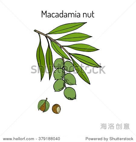 澳洲坚果分支.手绘植物矢量插图