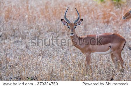 男性黑斑羚羚羊,南非克鲁格国家公园-动物/野生生物