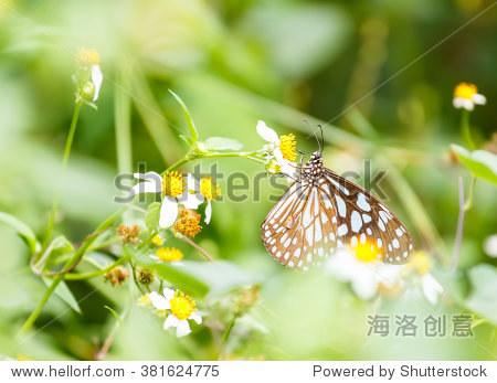 深蓝色的老虎从花园的花蝴蝶吸吮食物