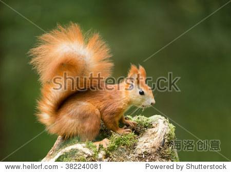 欧洲红松鼠长满青苔的树桩上,干净的绿色背景,捷克共和国,欧洲