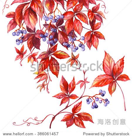 手绘水彩插图.花卉元素装饰.野生葡萄树枝红叶和蓝色浆果孤立在白色.