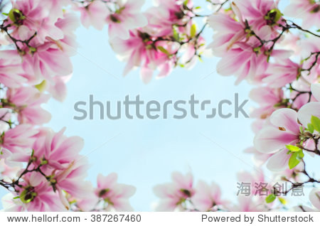 木兰花在蓝天的背景