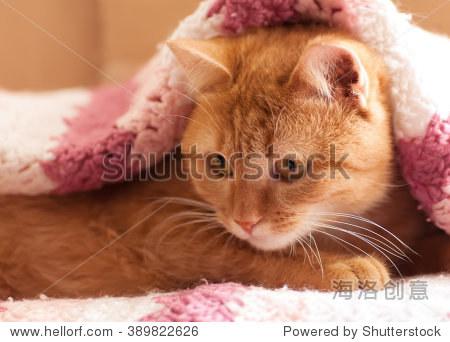 红猫窥视从毯子下面-动物/野生生物-海洛创意正版图片