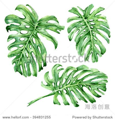 蓬莱蕉树叶.热带的叶子孤立在白色背景.水彩插图.